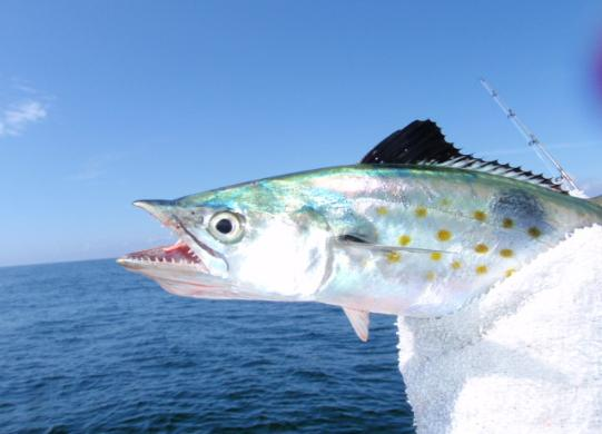 Fishing destin guide for catching spanish mackerel for Spanish mackerel fish