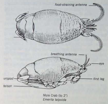 Sand Fleas Mole Crabs Or Sand Crabs Prime Surf Fishing Bait
