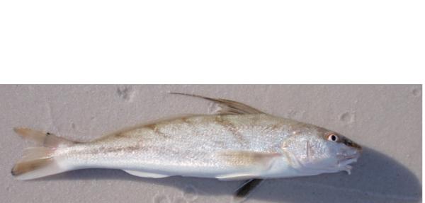Beachfishing main for Whiting fish picture